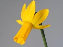 Narciso amarelo 1 Imagens de Stock
