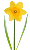 Narciso amarelo amarelo Foto de Stock Royalty Free