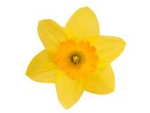 Narciso amarelo amarelo Fotos de Stock