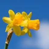 Narciso amarelo amarelo Fotos de Stock Royalty Free