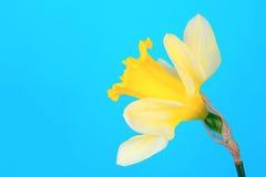 Narciso amarelo amarelo Fotografia de Stock