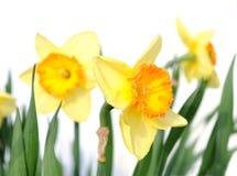 Narciso amarelo amarelo Imagem de Stock Royalty Free
