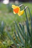 Narciso amarelo amarelo e alaranjado Fotos de Stock