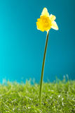 Narciso amarelo amarelo e grama verde no fundo azul Imagem de Stock