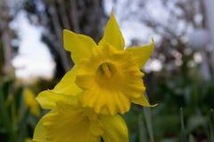 Narciso amarelo amarelo na mola Fotografia de Stock