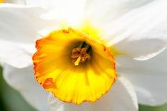 Narciso amarelo bonito com fundo verde Fotografia de Stock