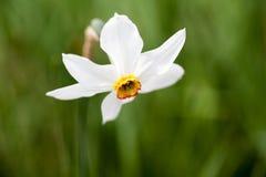 Narciso amarelo bonito com fundo verde Fotos de Stock Royalty Free