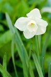 Narciso amarelo branco Fotos de Stock