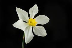 Narciso amarelo branco contra o preto Fotografia de Stock Royalty Free