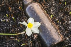 Narciso amarelo branco no fundo da grama e de restos chamuscados A batalha para a vida, ecologia Fotos de Stock