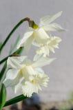 Narciso amarelo branco Verticle fotos de stock