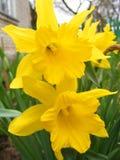 Narciso amarelo da mola no fim do jardim acima Fotografia de Stock Royalty Free