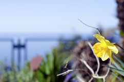 Narciso amarelo da primavera Imagem de Stock