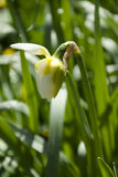 Narciso amarelo de florescência Foto de Stock Royalty Free