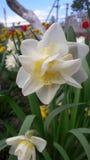 Narciso amarelo delicado fotografia de stock royalty free