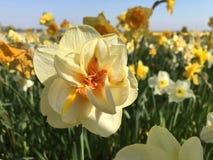 Narciso amarelo inteiramente florescido fotos de stock