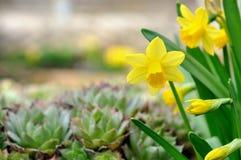 Narciso amarelo no jardim Fotografia de Stock Royalty Free