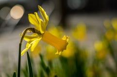 Narciso amarelo no vento Imagem de Stock