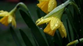Narciso amarelo pequeno molhado com orvalho vídeos de arquivo