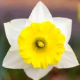 Narciso amarelo simétrico imagens de stock