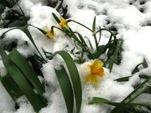 Narciso amarelo amarelo sob a neve da mola Imagem de Stock Royalty Free