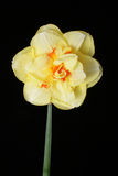 Narciso amarillo Fotografía de archivo