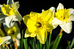 Narciso amarillo Fotos de archivo libres de regalías