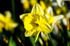 Narciso amarillo Fotografía de archivo libre de regalías