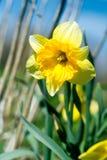 Narciso amarillo imagen de archivo libre de regalías