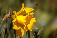 Narciso amarillo brillante en macizo de flores de la primavera Foto de archivo libre de regalías
