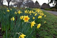 Narciso amarillo de la flor Fotografía de archivo libre de regalías