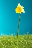 Narciso amarillo e hierba verde en fondo azul Imagen de archivo