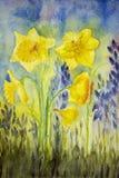 Narciso amarillo en el campo Foto de archivo libre de regalías