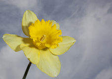 Narciso amarillo en la floración Fotos de archivo