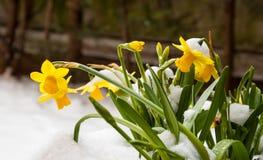 Narciso amarillo en nieve. Foto de archivo