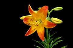 Narciso anaranjado y amarillo Foto de archivo