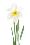 Narciso bianco Immagini Stock