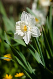 Narciso bianco Fotografie Stock