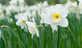 Narciso bianco del fiore della sorgente Immagini Stock Libere da Diritti