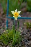 Narciso bianco e giallo Immagini Stock