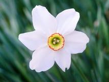 Narciso bianco su fondo verde Fotografia Stock