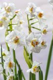 Narciso bianco tenero in fioritura sul bianco fotografia stock libera da diritti