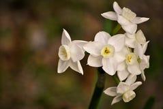 Narciso blanco Imagen de archivo