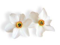 Narciso blanco Imagen de archivo libre de regalías