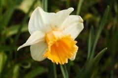 Narciso blanco Imágenes de archivo libres de regalías