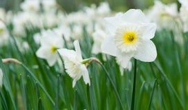 Narciso blanco de la flor del resorte Imágenes de archivo libres de regalías
