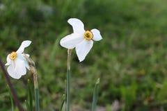 Narciso blanco en un fondo de la hierba verde Foto de archivo libre de regalías