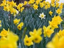 Narciso blanco entre el campo de flores amarillo imágenes de archivo libres de regalías