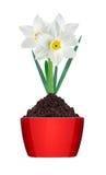 Narciso blanco y amarillo del color en tierra en el pote rojo aislado Fotografía de archivo