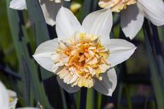 Narciso blanco y amarillo hermoso imagen de archivo
